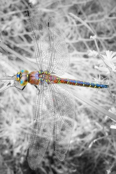 Color-pop Dragonfly