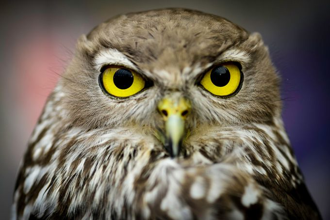Barking Owl 4 by RedShutterPhotography - Shallow Depth Of Field Photo Contest