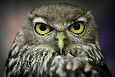 Barking Owl 4