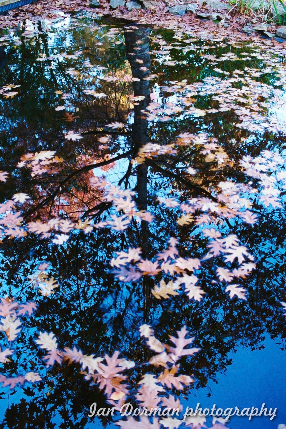The water was so black with tannin and the sun was in just the right angle to reflect the image of the tree against the blue of the shy. And then autumn leaves floating on top of the water