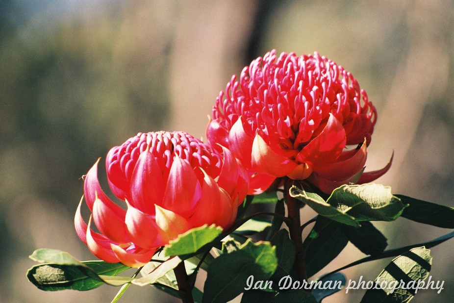 The Waratah is the floral emblem of New South Wales. Such a beautifull flower and so hard to find in nature