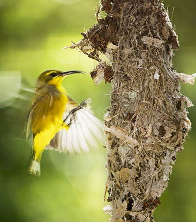 Sunbird Flying at nest