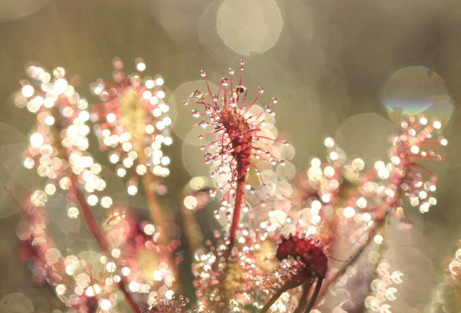 What an appropriate name for this tiny plant. Its beauty reveals itself, however, only to those w...