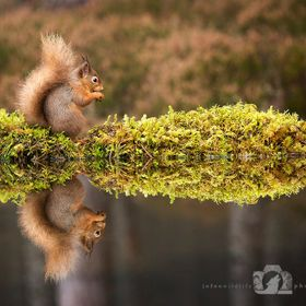 Red Squirrels are charismatic and well known members of the Scottish Big 5. They have struggled in the past due to competition with American Grey...