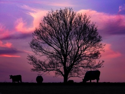 Sunset and Silhouettes ft. The Neighbors Cows