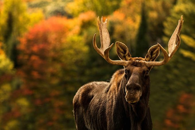 Moose in autumn by luciegagnon - Fall 2017 Photo Contest