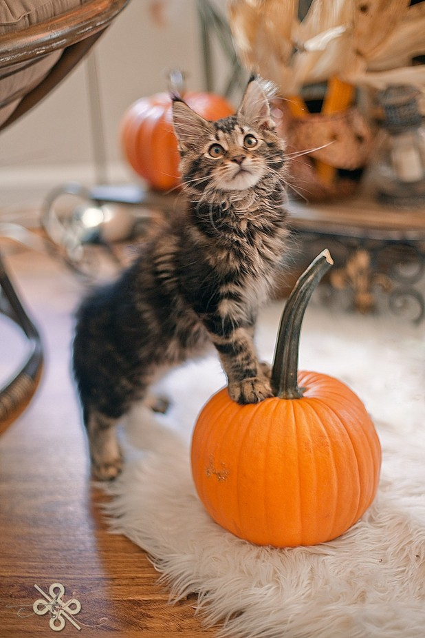 Pumpkin Coon by keeley15lf - Kittens vs Puppies Photo Contest