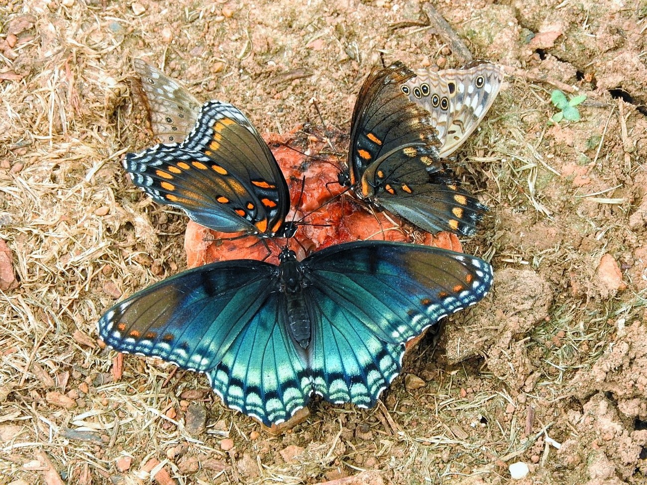 4 butterflies in the garden snacking on an old rotting peach