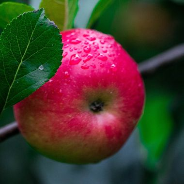 We hiked St Cuthbert's Way and found these apples along the way