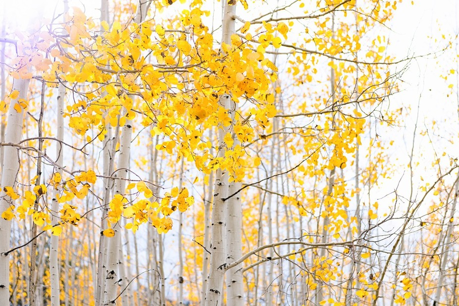 Aspen trees near Flagstaff, AZ
