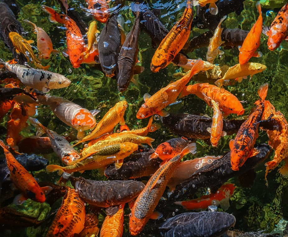 Hundreds of Koi Carp in an old disused swimming pool.