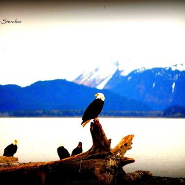 The Eagles hang out on the Homer Spit in Alaska on the beach.