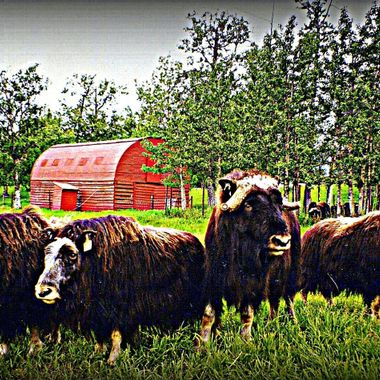 Photo taken at the Muskox Farm in Palmer, Alaska. The Muskox for a circle of protection for the young.