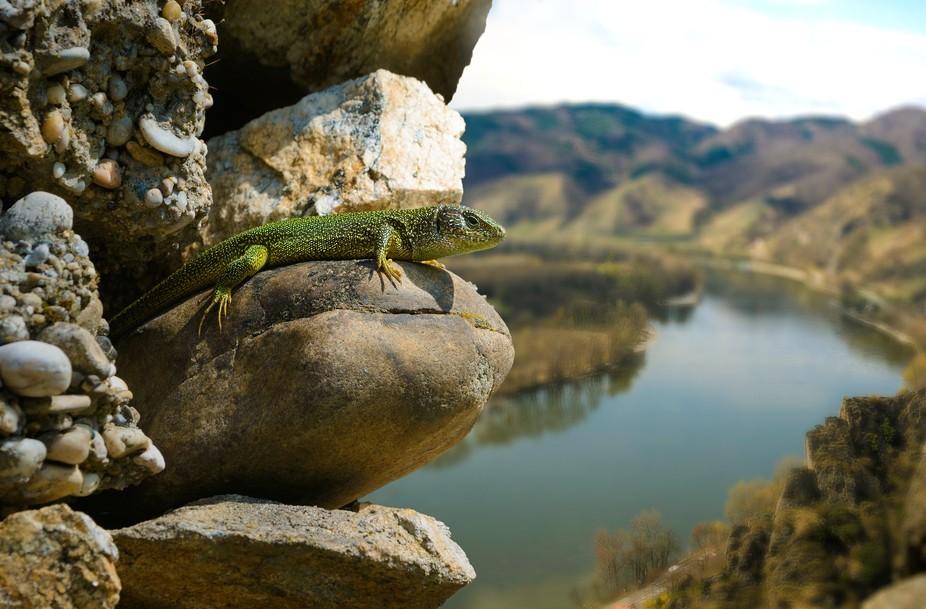 Smaragdeidechse auf einem Felsen über dem Donautal der Wachau bei Dürnstein in Niederösterreic...