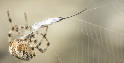 Common Orb-Weaving spider