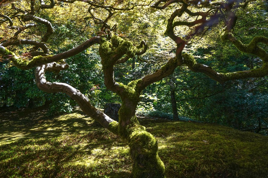 The famed maple of the Portland Japanese gardens is often depicted in it's winter foliag...