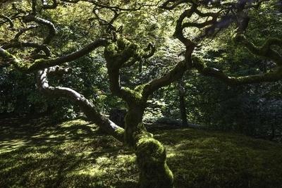 Maple in summer