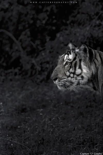 B&W - Tiger