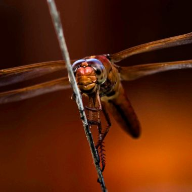 This Cardinal Meadowhawk made a daily appearance in my courtyard. Who can resist that face?