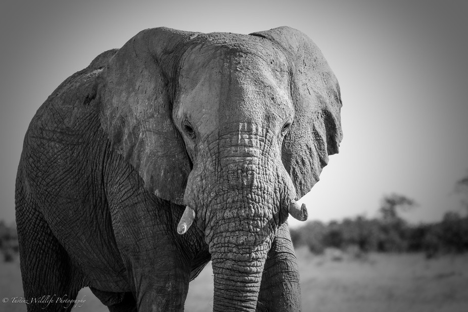 Elephant in Savuti