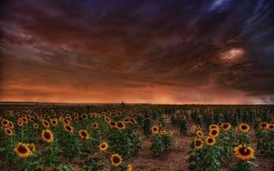 Sunflower Storm
