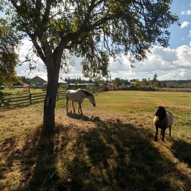 My Morning Therapy in Paradise on Stanford feeding 'my horse & sheep' apples daily Sep 2016 - Parksville, B.C. Canada on Vancouver Island