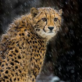 A Cheeta in the snow. Made in Burgers Zoo in the Netherlands