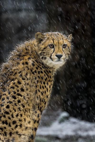 Cheeta in the Snow