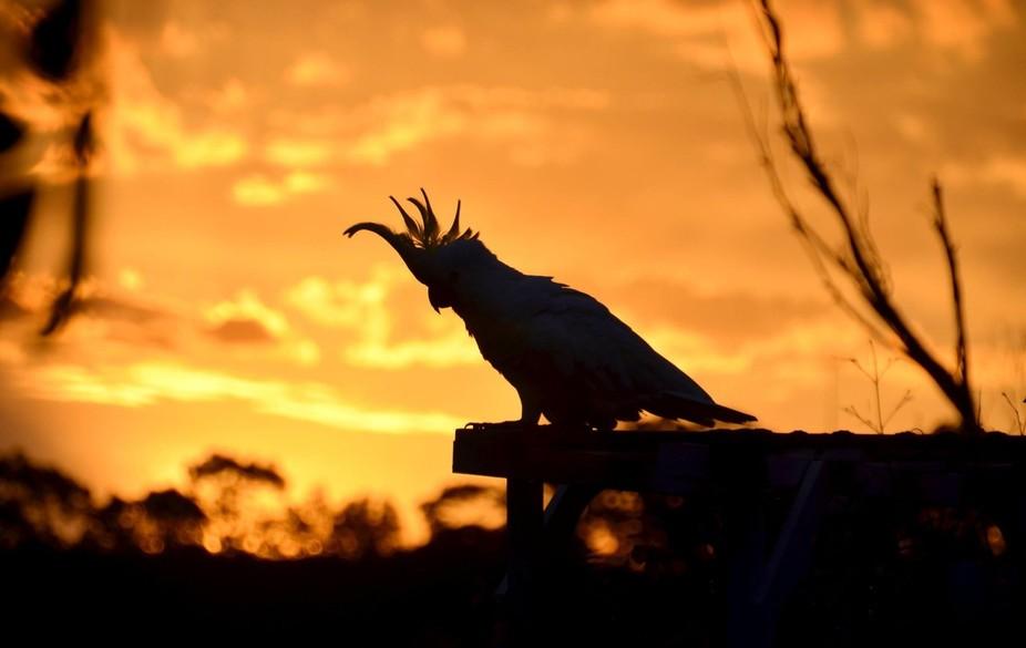 Cockatoo against the sunset, Sydney, Australia