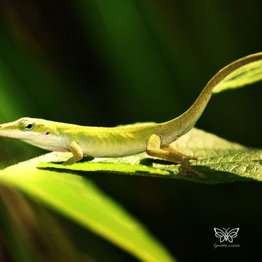 green anole posing