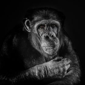 This is one of the chimpanzee's at Edinburgh Zoo.  The light in the indoor part of the enclosure is very poor and the glass covered in the f...