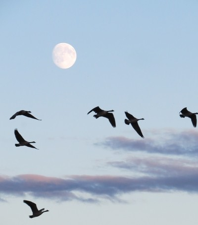 Canada geese in Canada sky