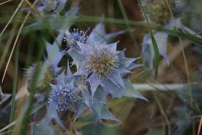 Spider hiding behind some sea holly