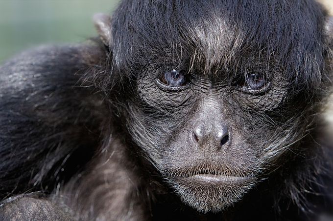 Spider Monkey by Bannekh - Happening At The Zoo Photo Contest