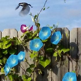 A Chickadee takes off after its morning song.