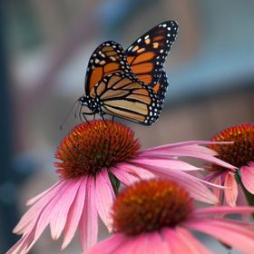 "A beautiful Monarch butterfly peacefully feeding on the bloom of Echinacea ""Sundown"" in my garden."