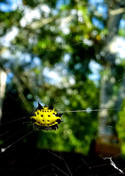 Yellow Horny Spider