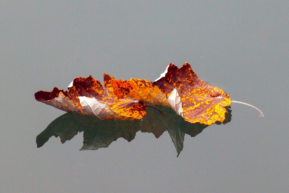 A couple of leaves just fallen from a tree into the river.