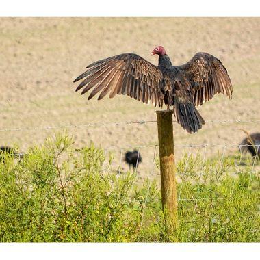 Vulture 3 copy