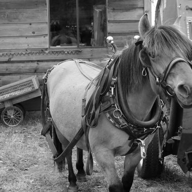 Buttercup is a Norwegian Fjord draft horse. She is harnessed and ready to hitch up to a seeder this morning.
