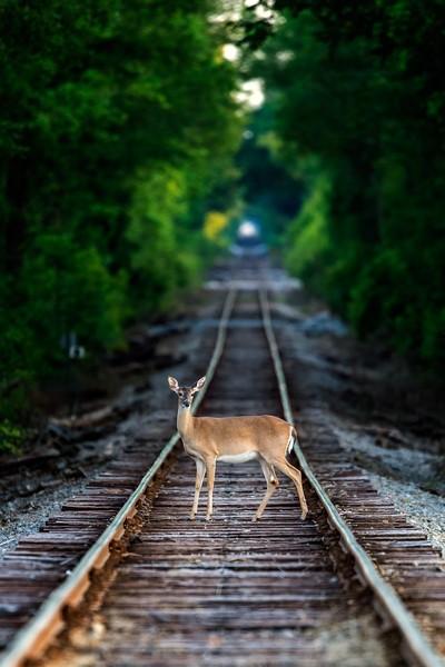Deer on Railway track