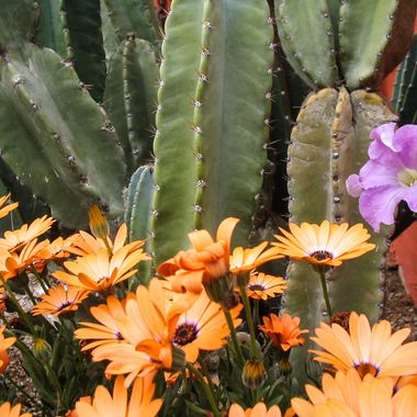 Cactus and flowers at Cave Creek, AZ