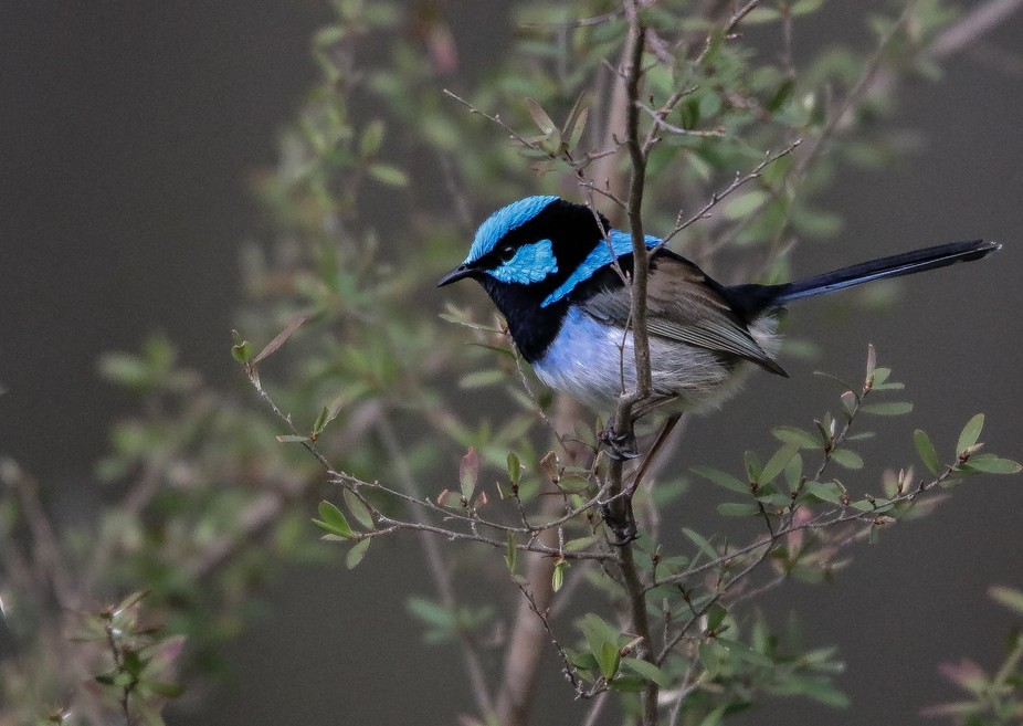 Male fairy wren in all his colourful glory, going about his rituals to attract the females into h...