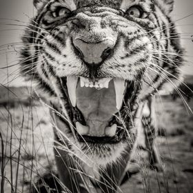this is a b&w conversion of the other tiger image....