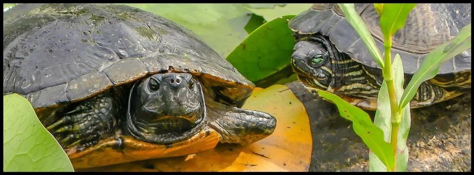 Turtles at Juanita Bay Wetlands, WA