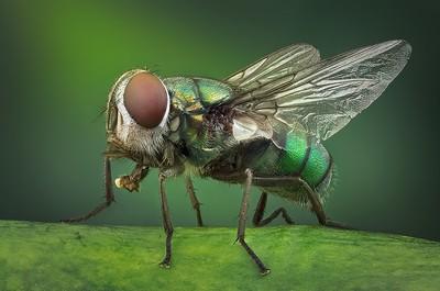 Green Bottle Fly Macro