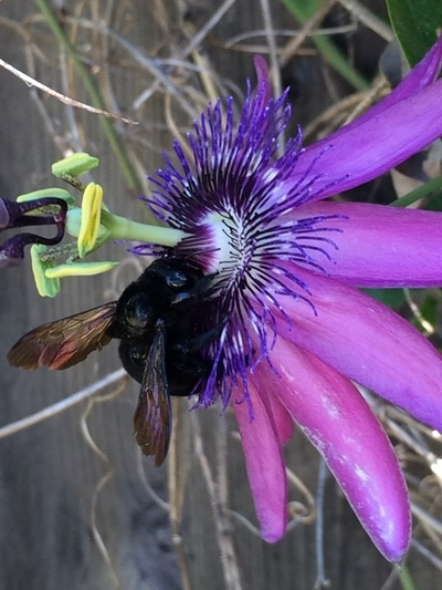 Black Bumblebee on Purple Passion Flower