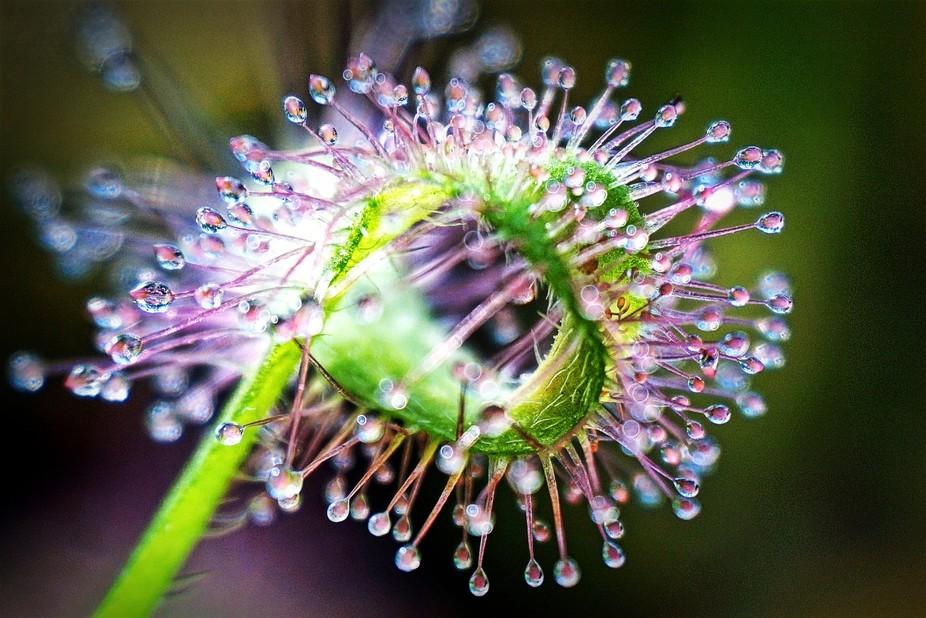 Oh, happy dew!