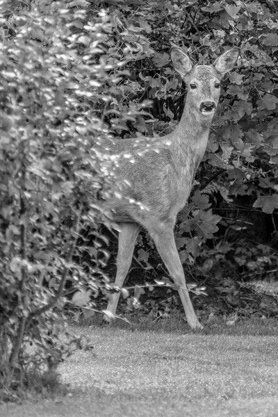Youngster (BW)