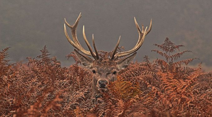 Young red deer stag by TimK - Orange Tones Photo Contest